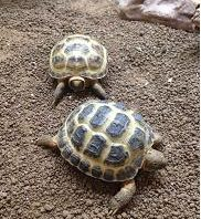 Guest Post from ExoticDirect What is the Average Lifespan of a Pet Tortoise?